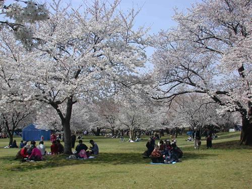 昭和記念公園の桜,桜,公園,東京