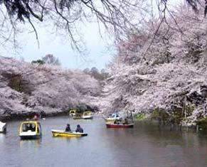 井の頭公園の桜,桜,公園,東京