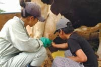 「滝沢牧場」の乳搾り,滝沢,牧場,