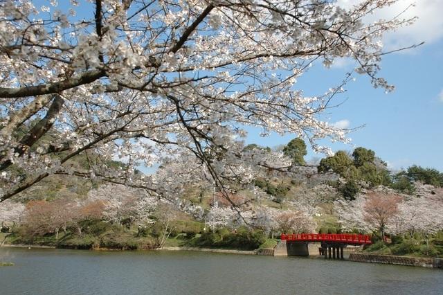 甘木公園(丸山公園)の桜,福岡,お花見,ランキング