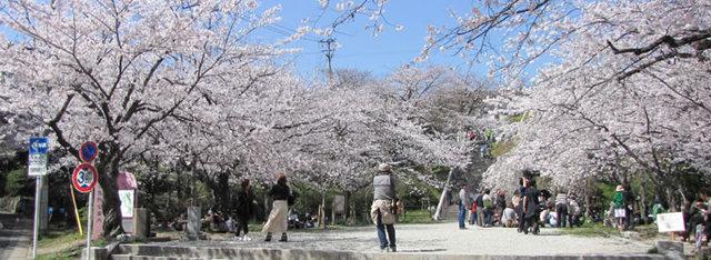 西公園の桜,福岡,お花見,ランキング