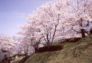 発心公園の桜,福岡,お花見,ランキング