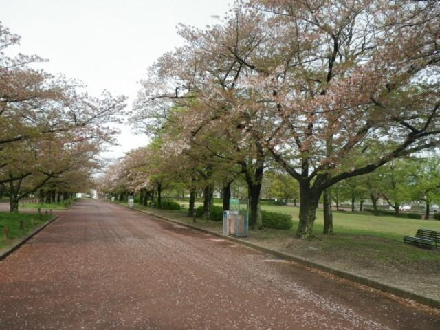 万博記念公園,大阪,花見,名所