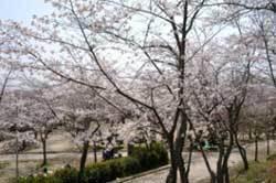摂津峡公園,大阪,花見,名所