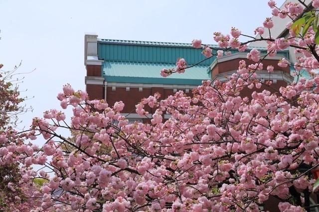 造幣局 桜の通り抜け ピクスタ,大阪,花見,名所