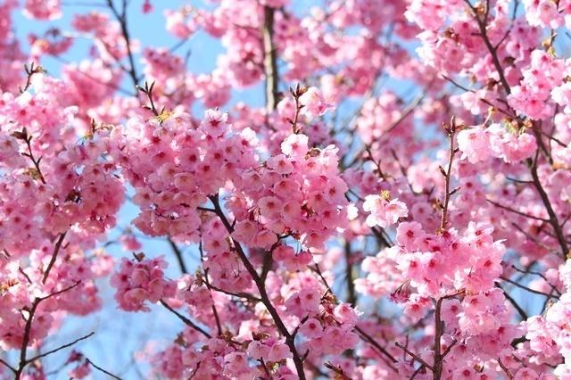 桜イメージ ピクスタ,大阪,花見,名所