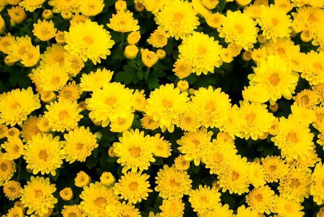 きれいな黄色い花,ベビー,かぼちゃパンツ,