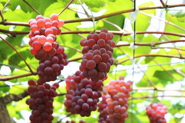 デラウェアぶどう,秋,果物狩り,関東