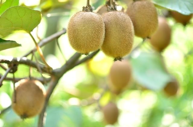 キウイ畑,秋,果物狩り,関東
