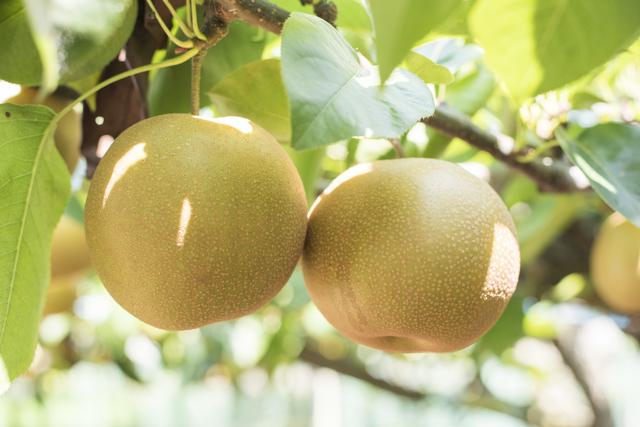 梨の木,秋,果物狩り,関東