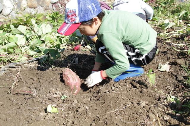 さつまいも掘りをする男の子,秋,果物狩り,関東
