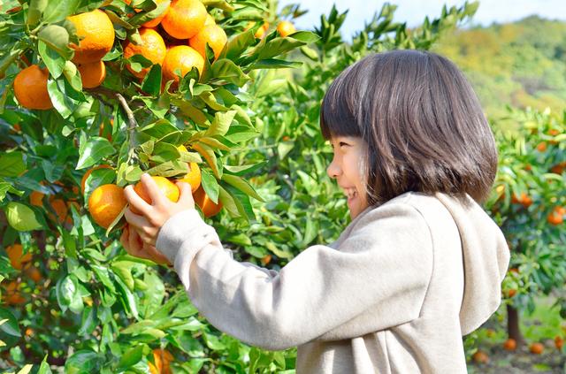 みかん狩りをする女の子,秋,果物狩り,関東