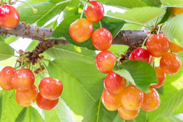 さくらんぼの木,秋,果物狩り,関東