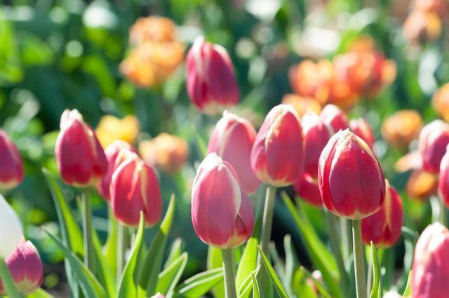 春のチューリップ,キッズ,ニットベスト,