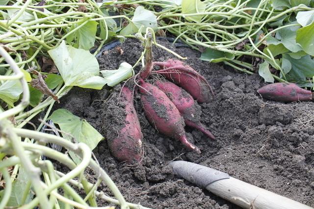 印野協同農園 観光いも堀園,静岡,子ども,さつまいも掘り
