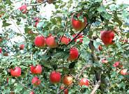 藤本観光農園,北海道,子ども,りんご狩り