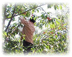 タカシナ,北海道,子ども,りんご狩り