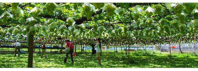 池田観光果樹園,ぶどう狩り,新潟,おすすめ