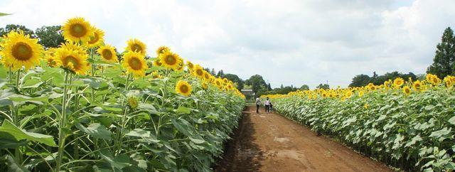 あけぼの山農業公園,ひまわり畑,見頃,名所
