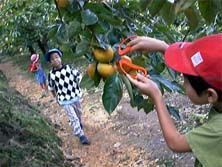 大賀茂柿みかん狩り,みかん狩り,静岡,おすすめ