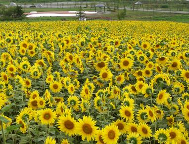 なよろ ひまわり畑,北海道,おすすめ,ひまわり