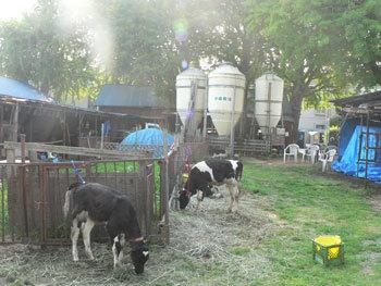 小泉牧場,動物,ふれあい,牧場