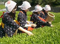 香りの丘茶ピアねっとお茶摘み体験,静岡,特産品,収穫体験