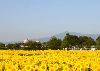 座間ひまわりまつり,神奈川,ひまわり,名所