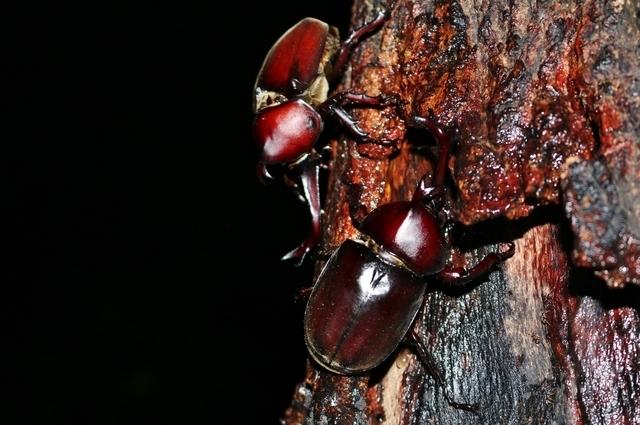 夜のカブトムシ,千葉県,昆虫採集,冒険