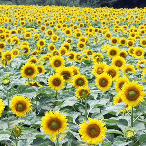 観光農園花ひろばのひまわり,愛知県,ひまわり,名所
