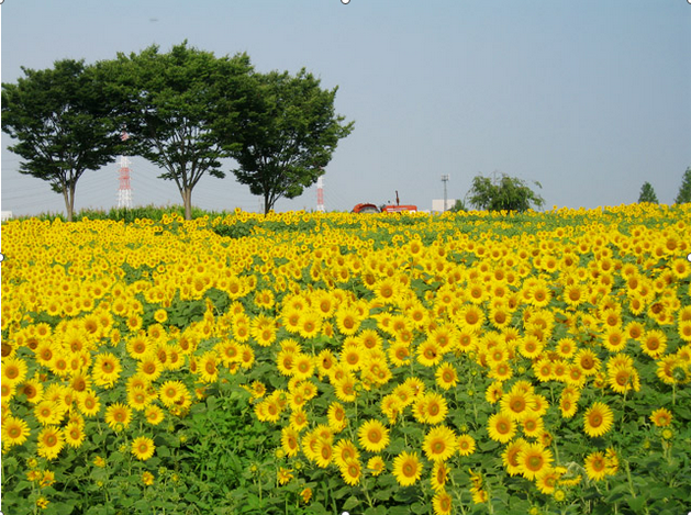愛知牧場のひまわり,愛知県,ひまわり,名所