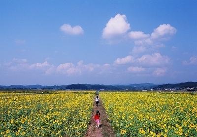 源氏の里「ひまわり畑」,ひまわり畑,静岡県,名所