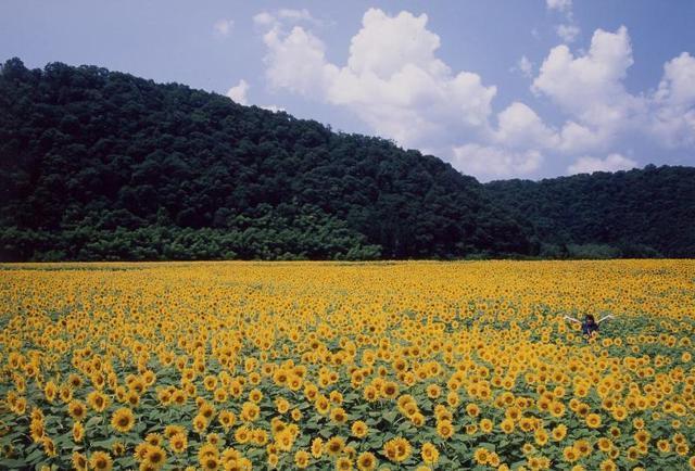 畑 広島 ひまわり 西原ひまわり菜園(広島県広島市)の農園:畑情報