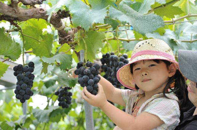 ブドウ狩りする女の子,夏,味覚狩り,愛知県