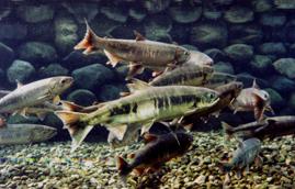 イヨボヤ会館の鮭,新潟,歴史,博物館