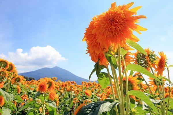 筑西ひまわり,太陽,ひまわり,茨城