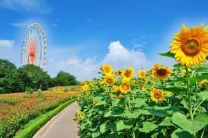 ひたち海浜公園,太陽,ひまわり,茨城