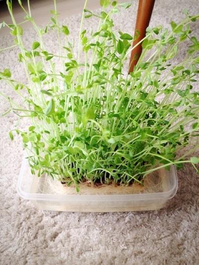 水菜栽培,野菜,捨てる部分,野菜栽培