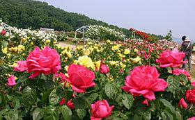 国営越後丘陵公園バラ園,まつり,名所,新潟県