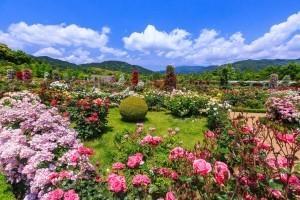 河津バガテル公園のバラ,バラ,見頃,名所