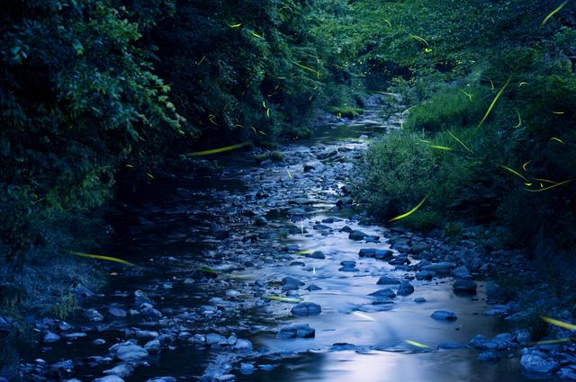 川辺の蛍,蛍,愛知県,幻想的