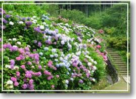 花の奥山高原,静岡,愛知,あじさい
