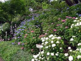中央森林公園 三景園,あじさい,広島,公園