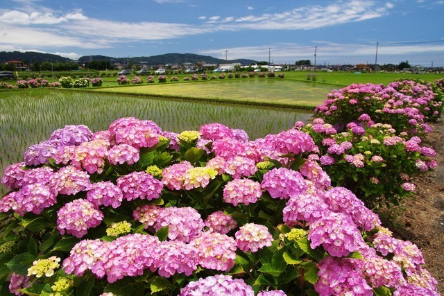 開成あじさい祭りイベント,あじさい,名所,神奈川