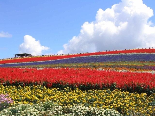 かんのファーム,ポピー,花畑,北海道
