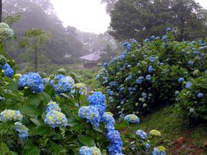 舞鶴自然文化園のあじさい,京都,あじさい,名所