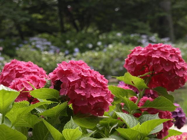京都府立植物園のあじさい,京都,あじさい,名所