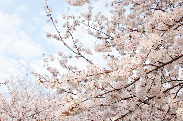 春の桜,キッズ,ボレロ,
