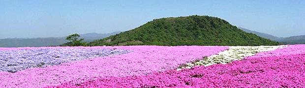茶臼山の芝桜,子連れ,登山,長野