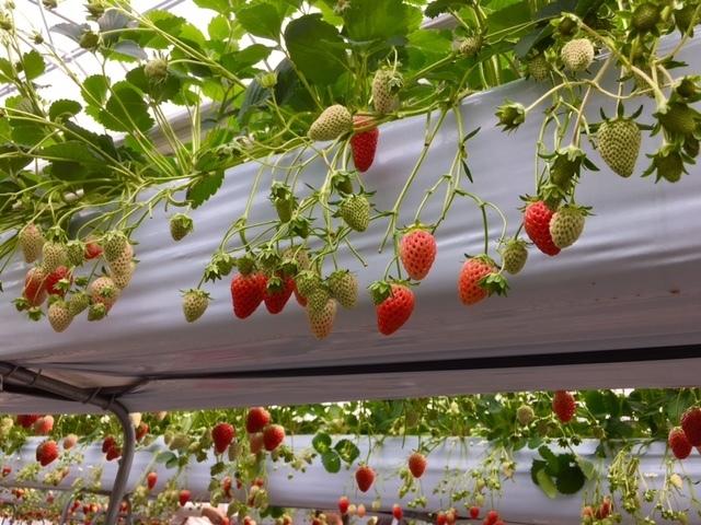 高設栽培で育てられたみずみずしいいちご,いちご狩り,東京,世田谷いちご熟
